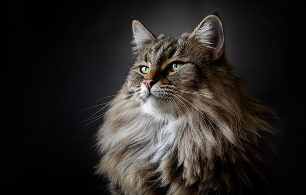 Picture cat, background, portrait, fluffy