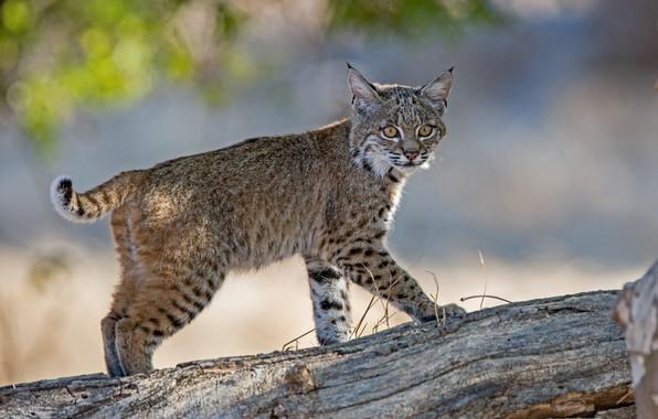 Picture log, cub, lynx, wild cat