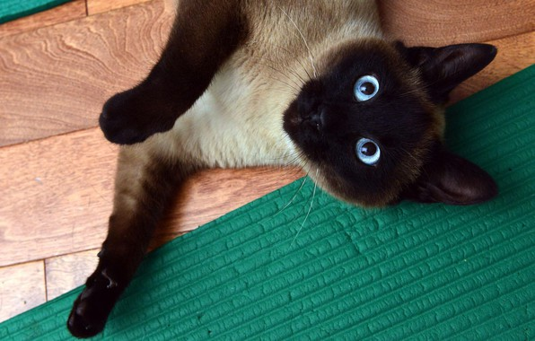 Picture cat, eyes, cat, look, pose, green, paw, blue, floor, lies, Mat, Siamese