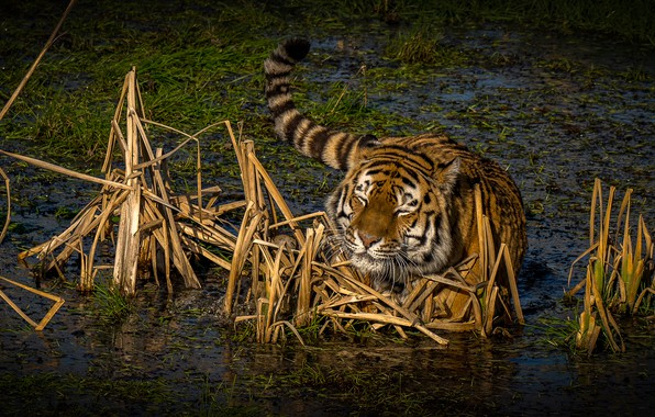 Picture grass, the sun, nature, tiger, swamp, predator, in the water