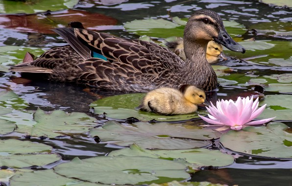 Picture flower, leaves, birds, ducklings, duck, Chicks, water Lily