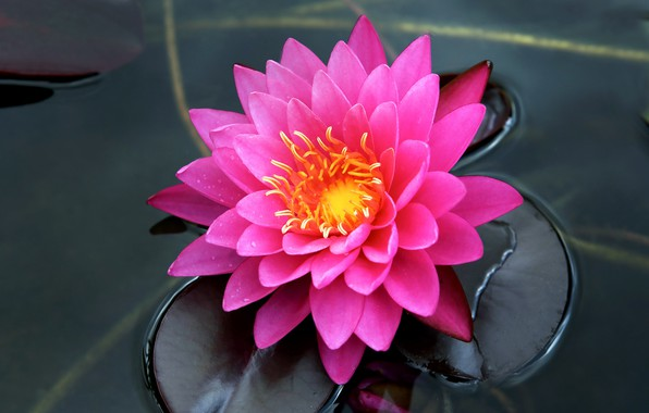Picture water, pink, petals, Nymphaeum, water Lily