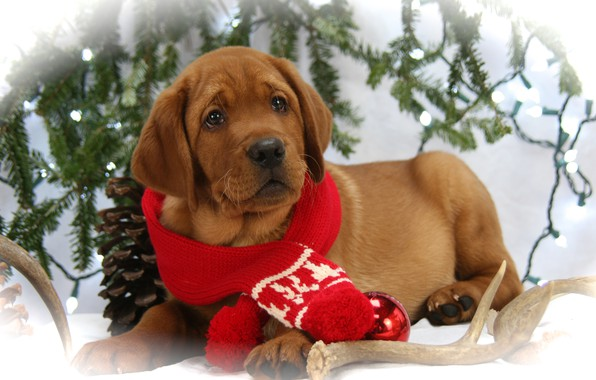 Picture photo, Dog, Look, Puppy, New year, Lies, Animals, Scarf, Labrador Retriever