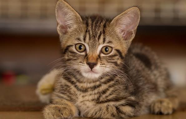 Picture look, portrait, muzzle, kitty, cat