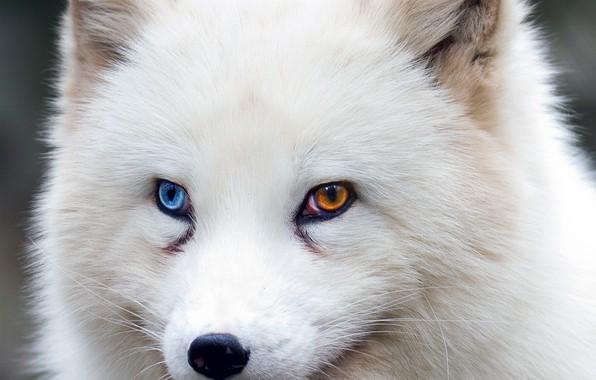 Picture fox, brown eyes, blue eyes, animal, wildlife, fur, ears, close up, Arctic fox, snout, heterochromia