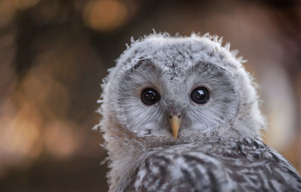 Picture eyes, look, nature, grey, background, owl, bird, portrait, chick, bokeh, tail, blurred, motley