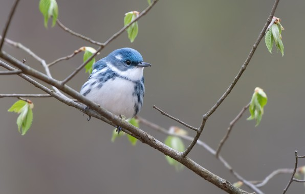 Picture nature, bird, Blue forest songster