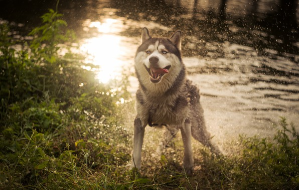 Picture language, summer, grass, look, water, drops, light, squirt, nature, pose, glare, mood, shore, dog, wet, …