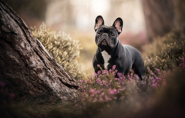 Picture tree, dog, French bulldog, Heather