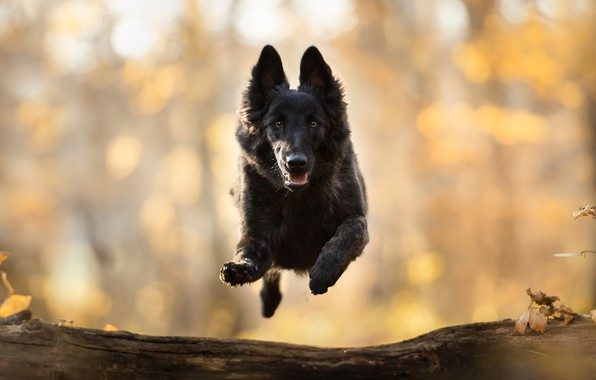 Picture look, jump, dog, walk, log, bokeh