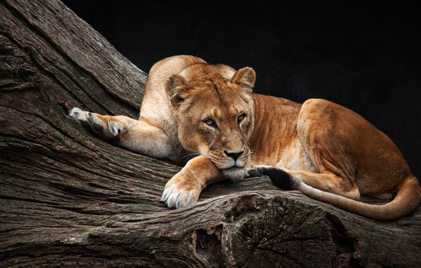 Picture look, pose, background, tree, stay, dark, beauty, lies, lioness, zoo, Queen