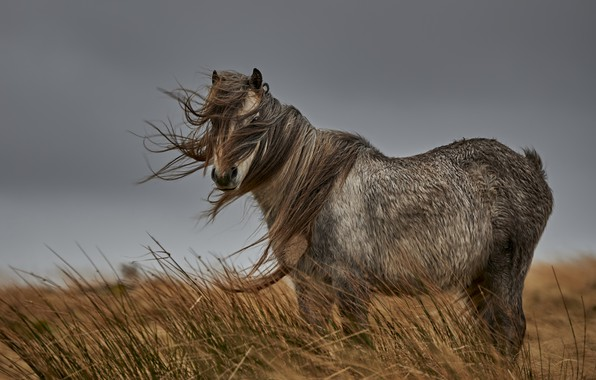 Picture field, horse, the wind