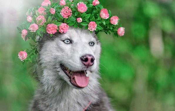 Picture face, animal, dog, wreath, husky, dog, Maria Anapolsky