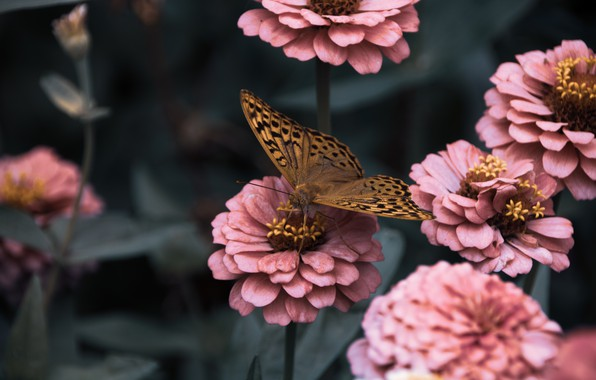 Picture leaves, macro, flowers, butterfly, zinnias