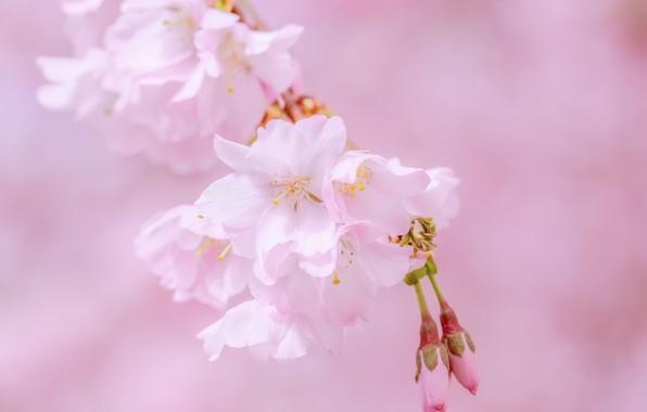 Picture cherry, pink, Sakura, flowering, blossom, sakura, cherry, japanese