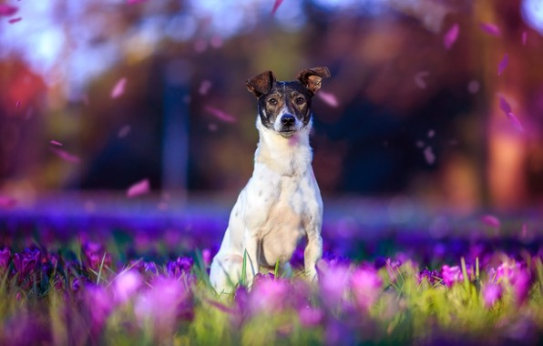 Picture purple, look, light, flowers, nature, pose, background, mood, glade, beauty, dog, spring, petals, crocuses, white, …