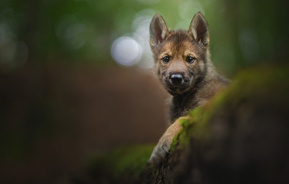Picture look, portrait, puppy, face, bokeh, doggie, The tamaskan dog