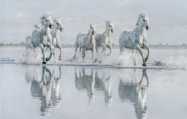 Picture water, shore, horses, horse, running, white, pond, gallop, the herd, the herd