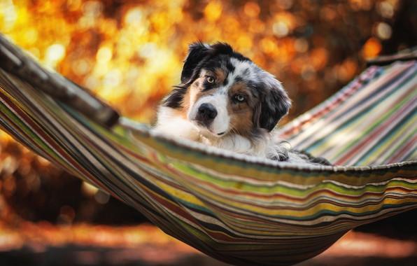 Picture summer, stay, dog, hammock, Australian shepherd, Aussie