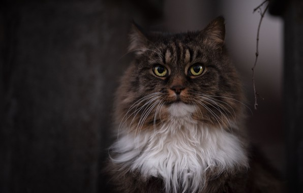 Picture cat, look, fluffy, muzzle, Kote