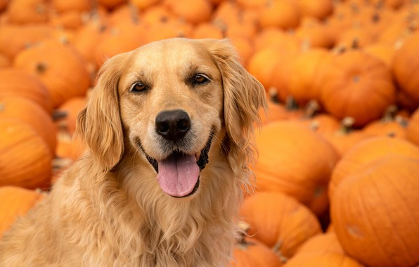 Picture language, look, face, dog, pumpkin, Golden Retriever, Golden Retriever
