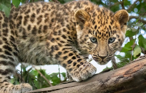 Picture look, leopard, log, cub, kitty, wild cat