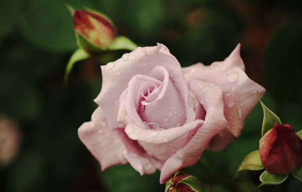 Picture flower, leaves, drops, Rosa, the dark background, pink, rose, petals, garden, Bud, buds, bokeh, pale