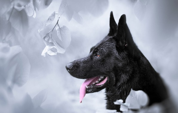 Picture face, background, dog, profile, German shepherd