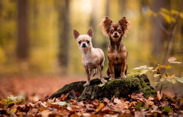 Picture autumn, forest, dogs, look, leaves, nature, pose, two, stump, pair, a couple, Duo, friends, Chihuahua, …