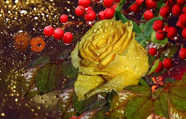 Picture drops, Rosa, berries, rain, Wet rose