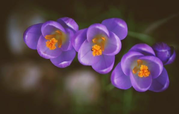 Picture macro, background, petals, Bud, crocuses, trio, saffron