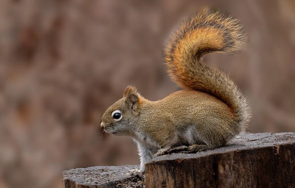 Picture background, stump, protein, tail, rodent, pet