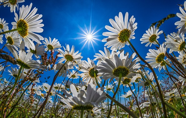 Picture field, flowers, chamomile, white, a lot, blue sky, chamomile field