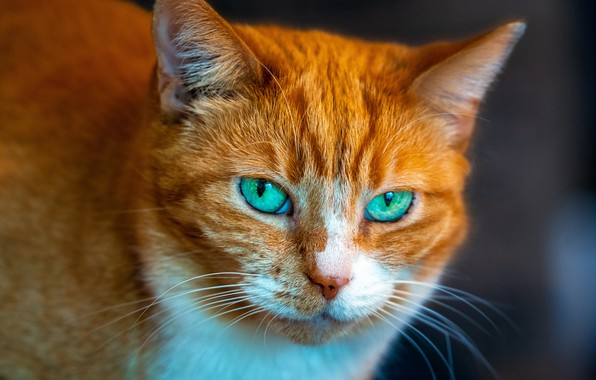 Picture cat, cat, look, portrait, red, muzzle, green eyes, cat