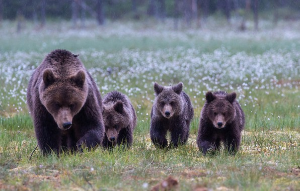 Picture bears, family, bear