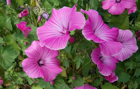 Picture Flowers, Pink, Lavatera