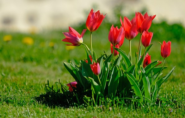 Picture greens, flowers, glade, bright, Bush, spring, garden, tulips, red, buds, flowerbed, lawn