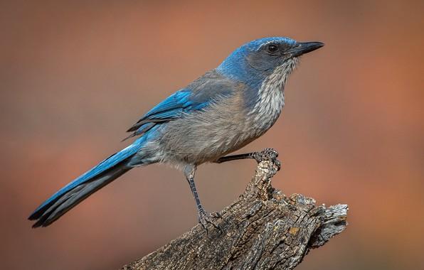 Picture bird, stump, shrub Jay