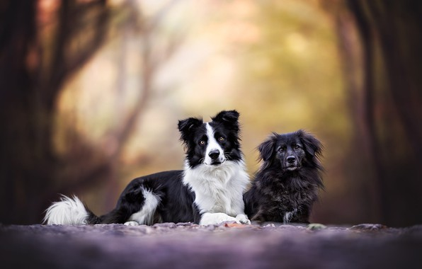 Picture road, autumn, forest, dogs, look, nature, pose, Park, two, puppies, pair, puppy, a couple, Duo, …