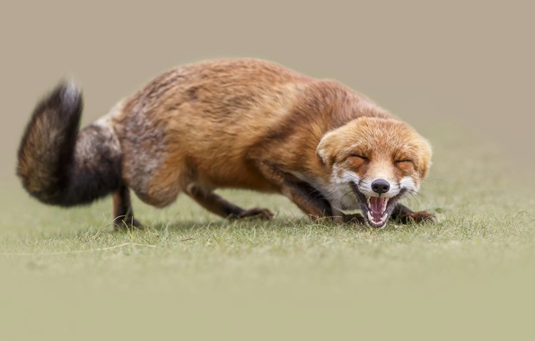 Picture smile, teeth, mouth, Fox, grin, squint
