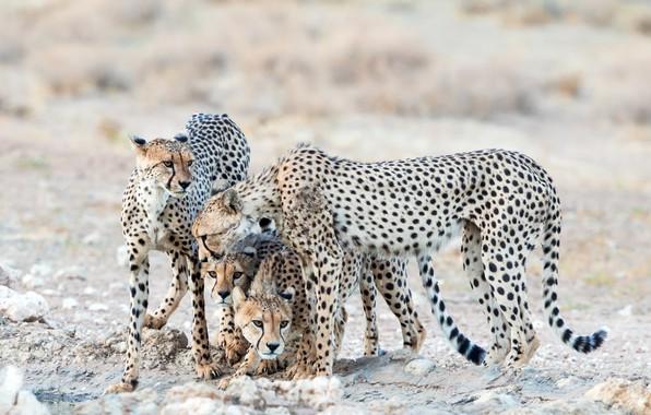 Picture nature, animals, cheetahs