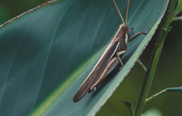 Picture macro, sheet, insect, grasshopper