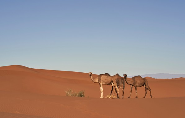 Picture sand, the sky, nature, hills, desert, barb, dunes, camel, space, three, Sands, camels, Bush