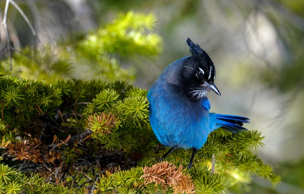 Picture branches, bird, needles, blue, blue, bokeh, Jay