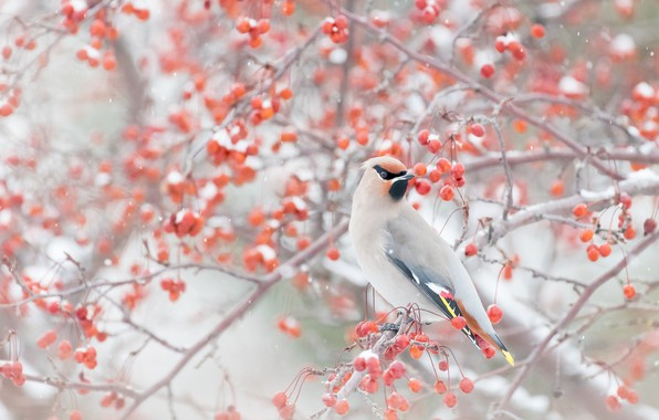 Picture winter, snow, branches, berries, bird, the Waxwing