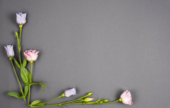 Picture flowers, background, buds, pink, flowers, violet, eustoma, eustoma