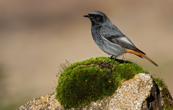 Picture the sun, nature, background, bird, stone, moss, bokeh, Phoenicurus ochruros, Black redstart, Black Redstart