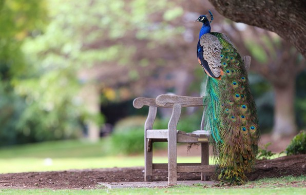 Picture bench, Park, bird, feathers, tail, peacock, bokeh