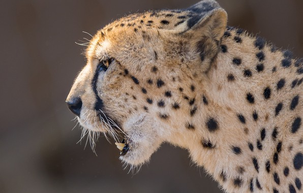 Picture face, background, portrait, Cheetah, profile, wild cat
