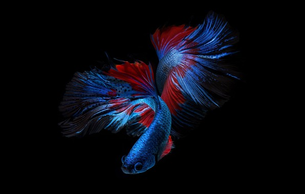 Picture blue, red, color, fish, black background